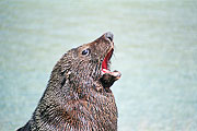 Picture 'Nz2_8_8 Australasian Fur Seal, New Zealand Fur Seal, New Zealand, Kaikoura'